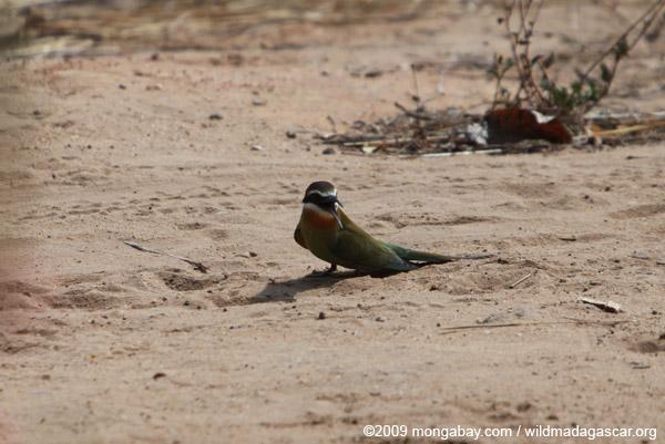 Madagascar bee-eater