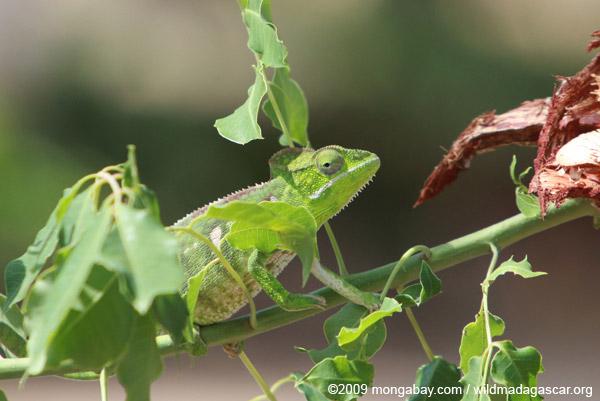 Furcifer oustaleti chameleon (juvenile-bright green)