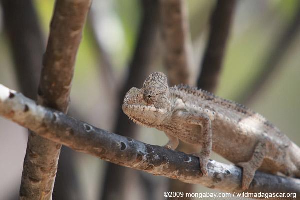 Furcifer oustaleti chameleon (light brown)