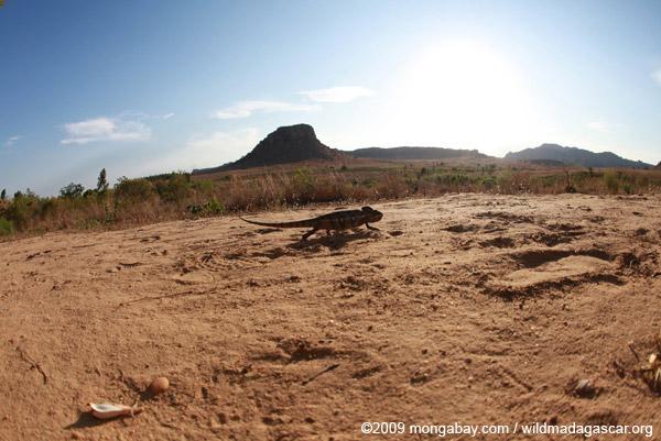 Oustalet's chameleon walking across sand near Isalo