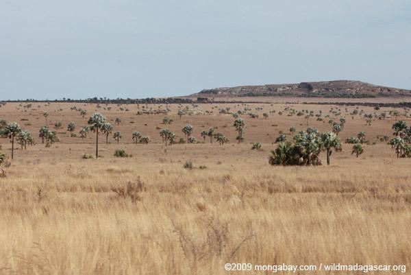 Bismarck Palms (Bismarckia nobilis) and savanna near Isalo
