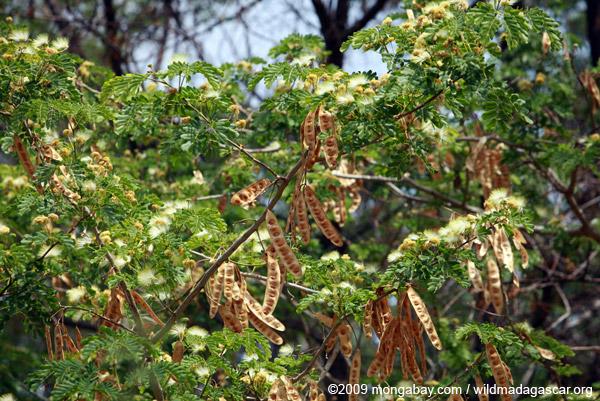 Acacia pods