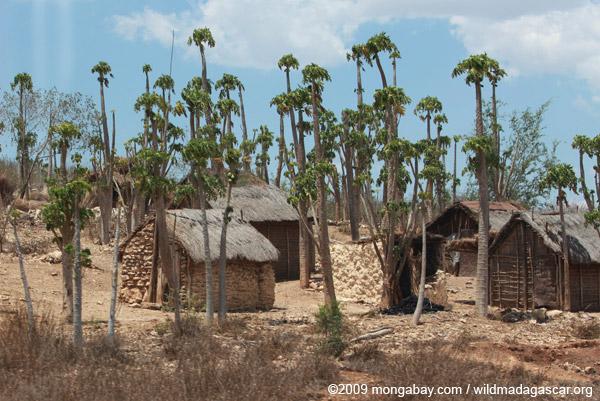 Papaya trees in a village