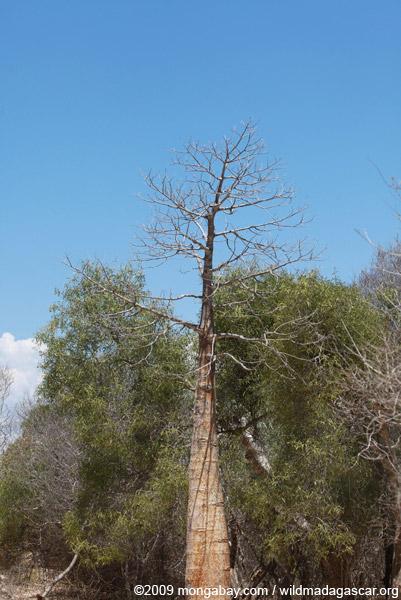 Spiny forest near Tulear