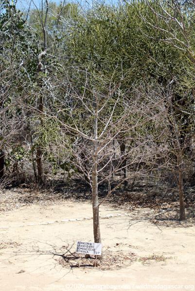 30-year-old Grandidier's Baobab (Adansonia grandidieri)