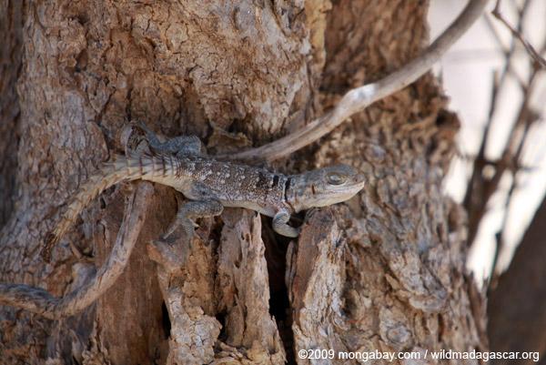 Oplurus cyclurus, an iguanid from Madagascar