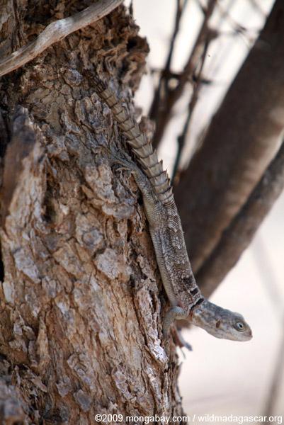 Madagascar swift