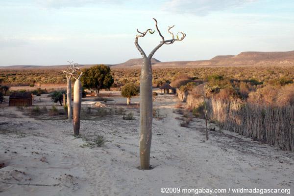 Moringa drouhardii trees in village outside of Tulear