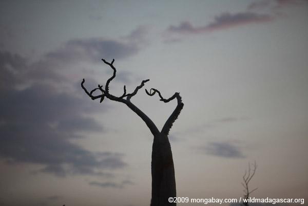 Baobabs in village outside of Tulear