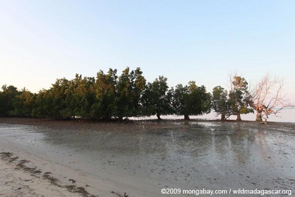 Mangroves in Madagascar