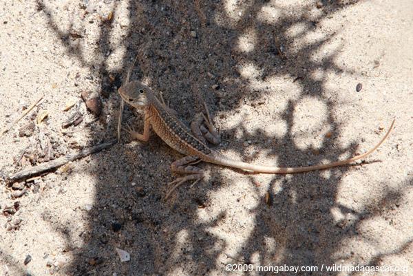 3-eyed lizard (Chalarodon madagascarensis)