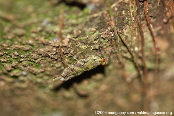Orange-eyed grasshopper