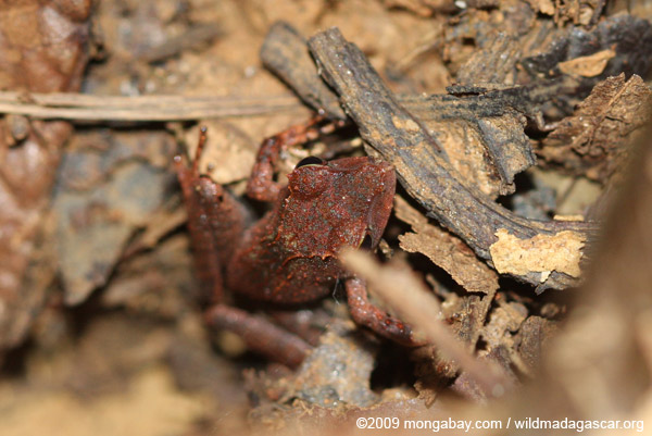 Rust-colored frog