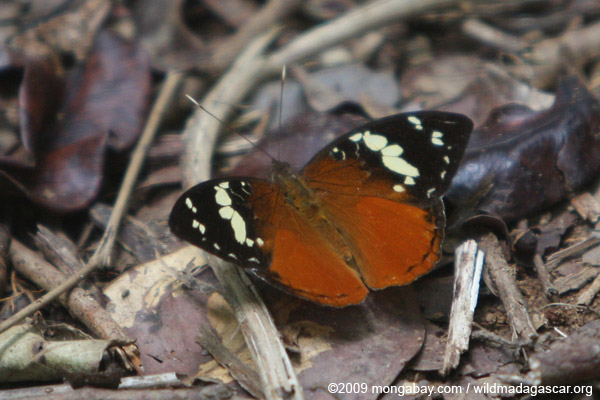 Butterfly (Aterica rabena)
