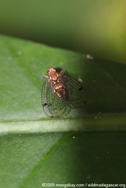 Insect (Cixiidae Homopteran)