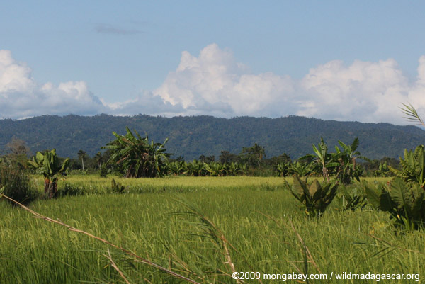 Rice and elephant-ear plants