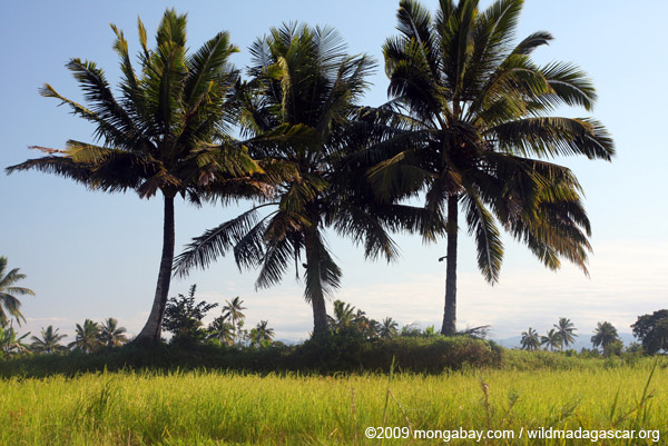 Rice and palms in Madagascar