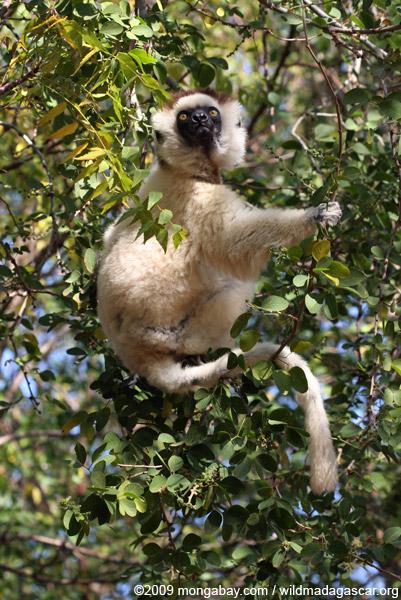 Verreaux's Sifaka sitting in a tree