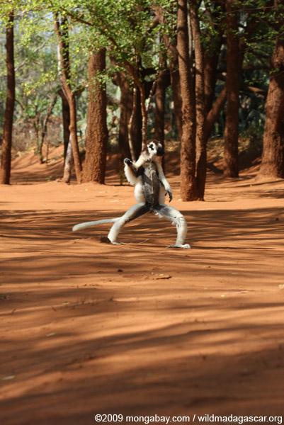 Verreaux's Sifaka dancing