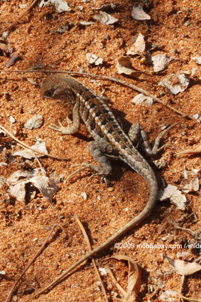 Three-eyed lizard (Chalaradon madagascariensis)