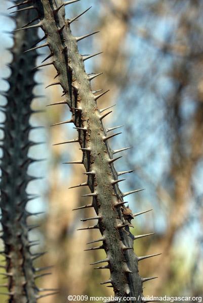 Alluaudia procera, closeup on spines and leaves