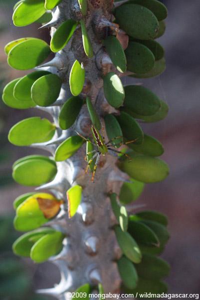 Green, yellow, orange, brown, and white spider on an Alluaudia procera plant