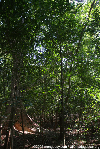 Gallery forest in southern Madagascar