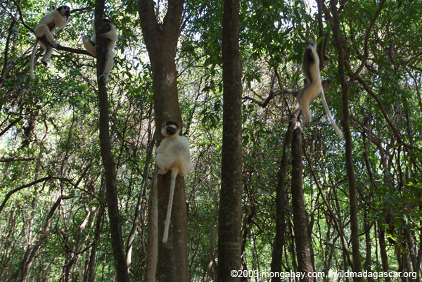 Sifakas in a southern Madagascar forest