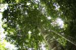Canopy tree -- sabah_2564