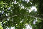 Canopy tree -- sabah_2566