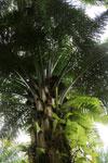 Oil palm -- sabah_2576