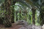 Oil palm plantation -- sabah_2577