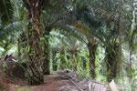 Oil palm plantation -- sabah_2578