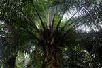 Oil palm plantation -- sabah_2584