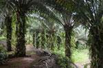 Oil palm plantation -- sabah_2585