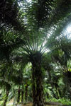 Oil palm plantation -- sabah_2587