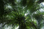Oil palm plantation -- sabah_2588