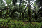Oil palm plantation -- sabah_2589