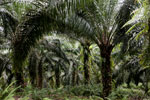 Oil palm plantation -- sabah_2590