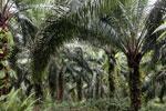 Oil palm plantation -- sabah_2591