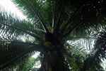 Oil palm plantation -- sabah_2592