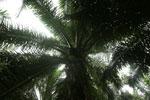 Oil palm plantation -- sabah_2593