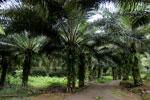 Oil palm plantation -- sabah_2594