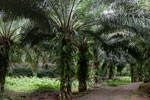Oil palm plantation -- sabah_2595