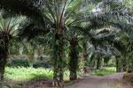 Oil palm plantation -- sabah_2596