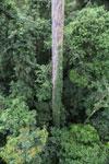 Canopy tree -- sabah_2628