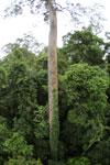 Canopy tree -- sabah_2631