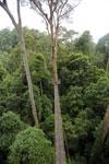 Danum Valley canopy walkway -- sabah_2641