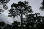 Canopy tree -- sabah_2643