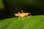Grasshopper -- sabah_2660